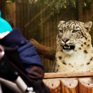 The snow leopard wants Oscar's blood. Or maybe his Postman Pat.