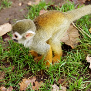 This squirrel monkey crossed the path right at Oscar's feet!